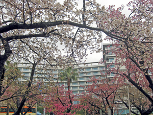 Img_1685sakura